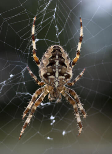 korsedderkop